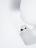 Female Willow Grouse - Ptarmigan (Lagopus Lagopus) Looking Out From Behind Snow Photographic Print by Markus Varesvuo