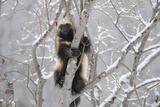 Wolverine (Gulo Gulo) Climbing Tree Photographic Print by Igor Shpilenok