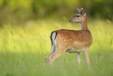 Fallow Deer (Dama Dama) Male, Studen Kladenets Reserve, Eastern Rhodope Mountains Photographic Print by  Widstrand