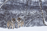 Two European Grey Wolves (Canis Lupus) In Woodland, Captive, Norway, February Photographic Print by Edwin Giesbers