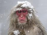 Japanese Macaque (Macaca Fuscata) Mother Holding Her Baby In Snowstorm, Jigokudani, Japan Fotografisk trykk av Diane McAllister