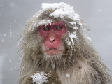 Japanese Macaque (Macaca Fuscata) Mother Holding Her Baby In Snowstorm, Jigokudani, Japan Photographic Print by Diane McAllister