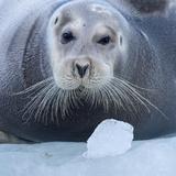 Bearded Seal (Erignathus Barbatus) Hauled Out On Ice, Spitsbergen, Svalbard, Norway, September Fotografisk tryk af Staffan Widstrand