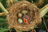 Reed Warbler'S Nest With Eggs And European Cuckoo Chick Just Hatched, UK Photographic Print by John Cancalosi