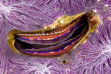 Bivalve Scallop (Pedum Spondyloideum) Inside A Coral Covered With Purple Sponge Photographic Print by Franco Banfi