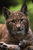 Young Male European Lynx (Lynx Lynx), Sumava Np, Bohemia, Czech Republic Photographic Print by Niall Benvie