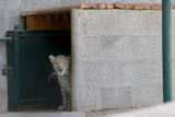 Male Arabian Leopard (Panthera Pardus Nimr) Looking Out At Its Enclosure Photographic Print by Nick Garbutt