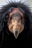 California Condor (Gymnogyps Californianus), Iucn Critically Endangered, Captive Photographic Print by Claudio Contreras
