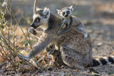Ring-Tailed Lemur (Lemur Catta) Female With Twins Feeding On Plant Photographic Print by Bernard Castelein