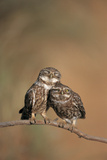 Little Owl (Athene Noctua) Pair Perched, Courtship Behaviour, Spain Photographic Print by Dietmar Nill