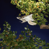 Southern Flying Squirrel (Glaucomys Volans) Taking Off, Captive Photographic Print by Kim Taylor