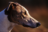 Greyhound Portrait Photographic Print by Adriano Bacchella