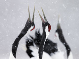 Red-Crowned Cranes (Grus Japonensis) Displaying And Calling In Snow, Hokkaido, Japan, February Photographic Print by Markus Varesvuo