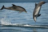 Bottlenose Dolphins (Tursiops Truncatus) Porpoising Playfully, Sado Estuary, Portugal Photographic Print by Pedro Narra