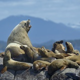 Steller Sea Lion (Eumetopias Jubatus) Male And Female With Colony, British Columbia, Canada, June Photographic Print by Loic Poidevin