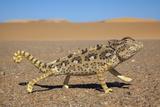 Namaqua Chameleon (Chamaeleo Namaquensis), Namib Desert, Namibia, April Fotografisk tryk af Ann & Steve Toon