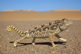 Namaqua Chameleon (Chamaeleo Namaquensis), Namib Desert, Namibia, April Photographic Print by Ann & Steve Toon