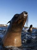 Cape Fur Seal (Arctocephalus Pussilus) Portrait, At Water Surface, Seal Island Photographic Print by Chris & Monique Fallows