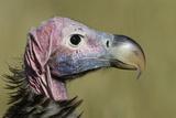 Lappet-Faced Vulture (Torgos Tracheliotus) Profile, Masai-Mara Game Reserve, Kenya Photographic Print by  Denis-Huot