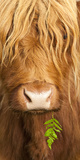 Head Portrait Of Highland Cow, Scotland, With Tiny Frond Of Bracken At Corner Of Mouth, UK Photographic Print by Niall Benvie