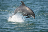 Bottlenose Dolphin (Tursiops Truncatus) Porpoising, Sado Estuary, Portugal Photographic Print by Pedro Narra