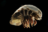 Giant Deepsea Isopod (Bathynomus Giganteus) Specimen From The South Atlantic Ocean Photographic Print by Solvin Zankl