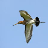 Male Black-Tailed Godwit (Limosa Limosa) In Flight, Marais Breton, Brittany - Bretagne Photographic Print by Loic Poidevin