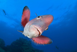 A Portrait Of A Mexican Hogfish (Bodianus Diplotaenia) Photographic Print by Alex Mustard
