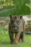 Rf- Juvenile Sumatran Tiger (Panthera Tigris Sumatrae), Aged Four Months, Captive Photographic Print by Edwin Giesbers