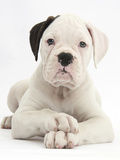 Black Eared White Boxer Puppy, Lying With Head Up And Crossed Paws, Against White Background Photographic Print by Mark Taylor