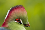 Red-Crested Turaco (Tauraco Erythrolophus) Captive At Zoo. Endemic To Western Angola Reproduction photographique par  Denis-Huot