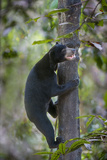 Bornean Sun Bear (Helarctos Malayanus Euryspilus) Climbing Tree At Conservation Centre Photographic Print by Nick Garbutt