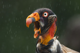 Head Portrait Of King Vulture (Sarcoramphus Papa) Calling In The Rain, Santa Rita, Costa Rica Photographic Print by Bence Mate