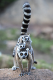 Ring-Tailed Lemur (Lemur Catta) Female Carrying Two Babies Photographic Print by Bernard Castelein