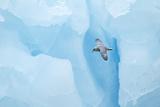 Fulmer (Fulmras Glacialis) In Flight Near Blue Glacier, Svalbard, July Photographic Print by Danny Green