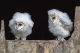 Barn Owl Chicks (Tyto Alba) Cumbria, June. Captive Photographic Print by Ann & Steve Toon