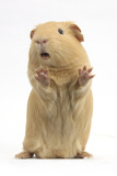 Yellow Guinea Pig Standing Up And Squeaking, Against White Background Reproduction photographique par Mark Taylor