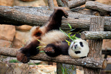 Giant Panda (Ailuropoda Melanoleuca) Lying On Climbing Frame Eating Bamboo Photographic Print by Eric Baccega