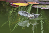 Brown Long-Eared Bat (Plecotus Auritus) Drinking From A Lily Pond , Surrey, UK Photographic Print by Kim Taylor