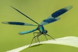 Male Banded Demoiselle (Calopteryx Splendens), Resting On Reed, Lower Tamar Lakes Photographic Print by Ross Hoddinott