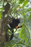 Hoolock Gibbon (Hoolock Leuconedys)Feeding Photographic Print by Dong Lei