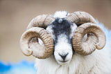 Black Faced Sheep Ram With Twisted Horns, Mull, Scotland, UK. January Photographic Print by Niall Benvie