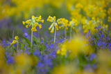Cowslips (Primula Veris) Growing On Organic Farm. Norfolk, UK, April Photographic Print by Ernie Janes