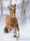 Chestnut Mustang Running In Snow, At Ranch, Shell, Wyoming, USA. February Photographic Print by Carol Walker