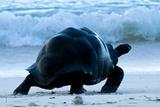 Aldabra Giant Tortoise (Geochelone Gigantea) Walking Along The Sea Shore, Aldabra Atoll, Seychelles Fotografie-Druck von Cheryl-Samantha Owen