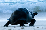 Aldabra Giant Tortoise (Geochelone Gigantea) Walking Along The Sea Shore, Aldabra Atoll, Seychelles Photographic Print by Cheryl-Samantha Owen