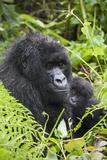 Mountain Gorilla (Gorilla Gorilla Beringei) Mother Holding Baby Twins Age Five Months Photographic Print by Suzi Eszterhas
