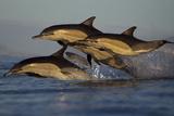 Common Dolphin (Delphinus Delphis), False Bay, Cape Town, South Africa, August Photographic Print by Chris & Monique Fallows