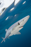 Blue Shark (Prionace Glauca) Swimming Near The Surface Of The English Channel Photographic Print by Alex Mustard