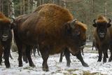 European Bison (Bison Bonasus), Large Bull, Drawsko Military Area Photographic Print by  Widstrand